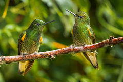 Buff Tailed Coronet. Pair of Buff-Tailed Coronet Hummingbirds Perched on Branch At Guango Lodge, Ecuador Royalty Free Stock Photo