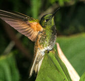 Buff-tailed Coronet 1. Perched displaying, spread tail and wings in Ecuador Royalty Free Stock Photo