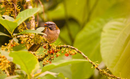 Buff-Throated Saltator Stock Images