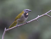 Buff-throated Saltator Royalty Free Stock Photography