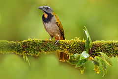 Buff-throated Saltator, Saltator maximus, exotic bird sitting on the branch in the green forest. Tropic tanager in the nature habi. Tat royalty free stock photography