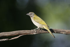 Buff-throated saltator, Saltator maximus Royalty Free Stock Image