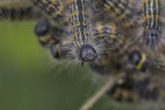 Buff-tip caterpillar head detail Royalty Free Stock Images
