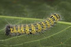 Buff-tip Caterpillar. Phalera bucephala  (Linnaeus, 1758 Stock Images