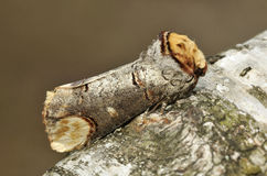 Buff-tip Moth. Phalera bucephala on Birch branch stock image