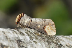 Buff-tip Moth. Phalera bucephala on Birch branch royalty free stock photos