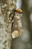 Buff-tip Moth Stock Photos