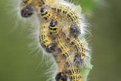 Buff-tip Moth caterpillars Royalty Free Stock Images