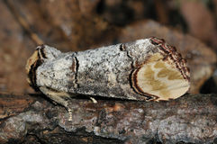 Buff-tip Moth Royalty Free Stock Photo