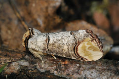 Buff-tip Moth Stock Photography