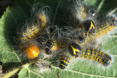 Buff-tip moth (Phalera bucephala) caterpillars before and after. Larvae in the family Notodontidae feeding gregariously, showing light colour of freshly moulted royalty free stock photography