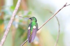 Buff-winged Starfrontlet. (Coeligena lutetiae) in Yanacocha Resorve,Ecuador stock images