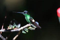 Buff-winged Starfrontlet. (Coeligena lutetiae) in Yanacocha Resorve, Ecuador royalty free stock images