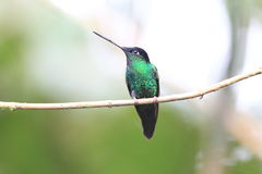 Buff-winged Starfrontlet. (Coeligena lutetiae) in Yanacocha Resorve,Ecuador royalty free stock images