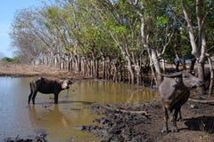 Buffallo в сельских лужицах грязи