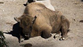 Buffallo dans le zoo Innsbruck images libres de droits