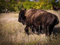 Buffallo and Real Cowboy Royalty Free Stock Photo