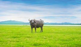 Buffalo à l'arrière-plan de paysage de nature Image stock