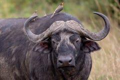 Buffalo ακρωτηρίων, Κένυα, Αφρική στοκ εικόνα