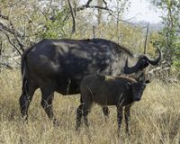 Buffalo ακρωτηρίων - άγρια φύση του μεγάλου διασυνοριακού πάρκου Lumpopo στοκ εικόνα με δικαίωμα ελεύθερης χρήσης
