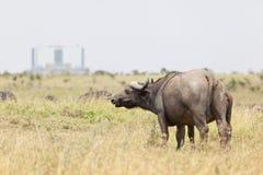 Buffalo ακρωτηρίων στην Κένυα Στοκ Εικόνα