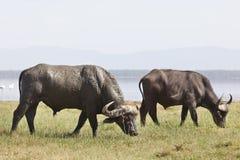 Buffalo ακρωτηρίων στην Κένυα Στοκ Φωτογραφίες