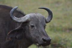 Buffalo 3 ακρωτηρίων Στοκ Φωτογραφία
