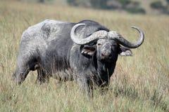 Buffalo ακρωτηρίων (Syncerus caffer) στη σαβάνα που εξετάζει τη κάμερα Στοκ Φωτογραφία