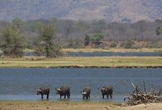 Buffalo από τον ποταμό Ζαμβέζη στοκ εικόνα