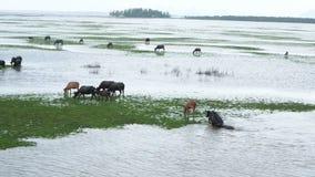 Buffalo ελών σε Thale Noi απόθεμα βίντεο