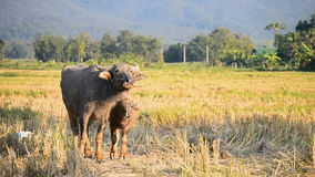 Buffalo και μητέρα της Ασίας μωρών στο αγρόκτημα επαρχίας απόθεμα βίντεο