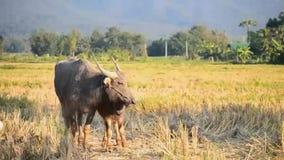 Buffalo και μητέρα της Ασίας μωρών στο καλλιεργήσιμο έδαφος επαρχίας απόθεμα βίντεο