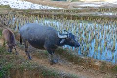 Buffalo και μόσχος που επιστρέφουν από την εργασία Στοκ Εικόνες