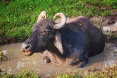 Buffalo νερού, Σρι Λάνκα Στοκ φωτογραφία με δικαίωμα ελεύθερης χρήσης