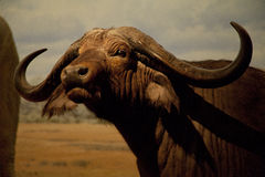 Buffalo νερού στοκ εικόνα