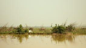 Buffalo, λουτρό λάσπης, bubalis bubalus, μόσχος βούβαλων, τομέας απόθεμα βίντεο