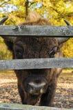 Buffalo πίσω από τον ξύλινο φράκτη στοκ εικόνες