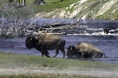 Buffalo που διασχίζει τον ποταμό Στοκ Φωτογραφία