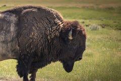 Buffalo που περπατά μέσω της χλόης στοκ φωτογραφία με δικαίωμα ελεύθερης χρήσης