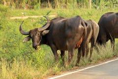 Buffalo που περπατά στο δρόμο Στοκ Εικόνες