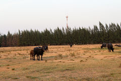 Buffalo που στέκονται στην κοντή χλόη στοκ εικόνα με δικαίωμα ελεύθερης χρήσης