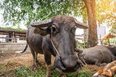 Buffalo σε ένα αγρόκτημα με τον όμορφο στοκ εικόνες