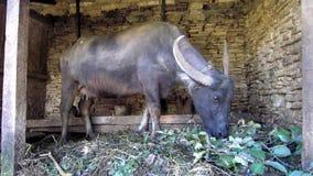 Buffalo σε ένα υπόστεγο απόθεμα βίντεο
