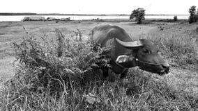 Buffalo σε Black&white Στοκ Εικόνα