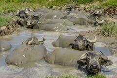 Buffalo στη λάσπη από το χωριό Bazna, νομός του Sibiu, Τρανσυλβανία, Ρουμανία στοκ φωτογραφία