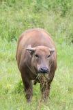 Buffalo στον τομέα χλόης Στοκ εικόνες με δικαίωμα ελεύθερης χρήσης