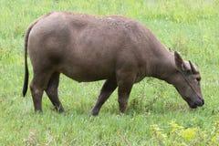 Buffalo στον τομέα χλόης Στοκ Εικόνες