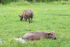 Buffalo στον τομέα χλόης Στοκ εικόνα με δικαίωμα ελεύθερης χρήσης