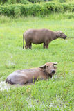 Buffalo στον τομέα χλόης Στοκ φωτογραφία με δικαίωμα ελεύθερης χρήσης