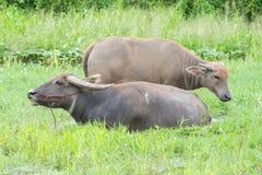 Buffalo στον τομέα χλόης Στοκ Φωτογραφίες
